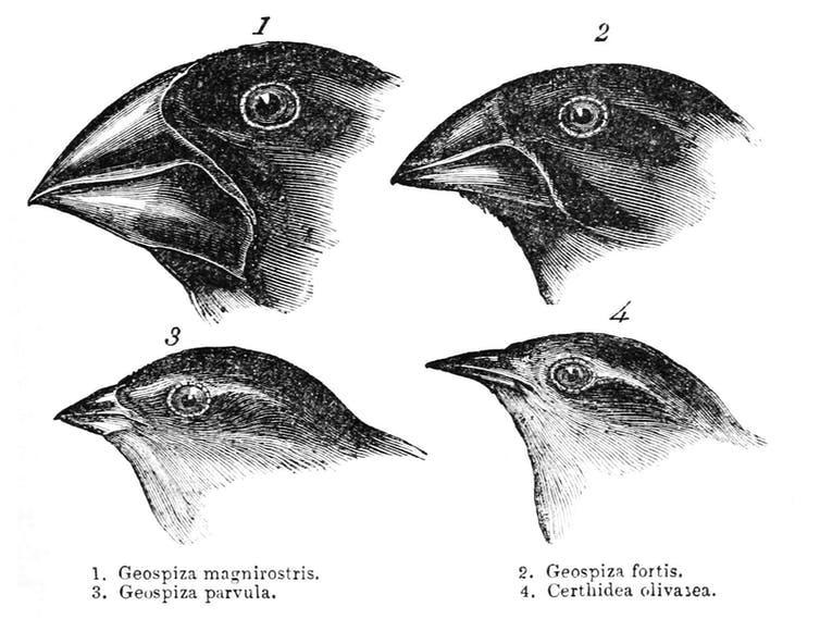 Drawings of finches.