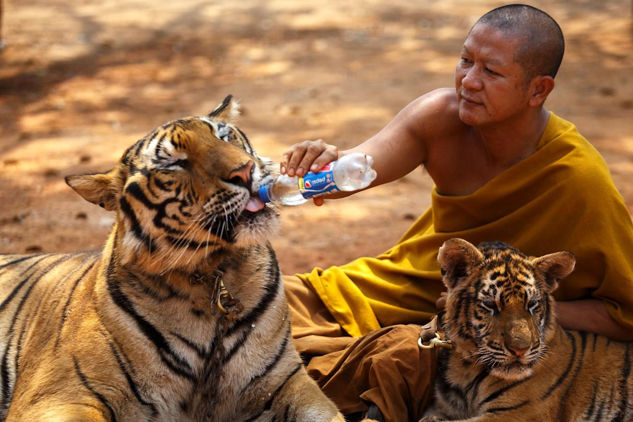 A Buddhist monk feeds a tiger with water from a bottle at the Wat Pa Luang Ta Bua, otherwise known as the Tiger Temple, in Kanchanaburi Province in 2015. (Photo: Athit Perawongmetha / Reuters)