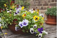 "<p>The tiny faces of these adorable annuals can handle light frosts, so they bloom all winter long in mild climates. Even though they're technically annuals, violas drop tons of seeds, so they often pop up again on their own next spring. They do well in pots or in ground, and require full sun.</p><p><a class=""link rapid-noclick-resp"" href=""https://www.amazon.com/Outsidepride-Viola-Johnny-Plant-Flower/dp/B006HI5716/ref=sr_1_1_sspa?keywords=VIOLA+SEEDS&qid=1578077202&sr=8-1-spons&psc=1&spLa=ZW5jcnlwdGVkUXVhbGlmaWVyPUEzSTZPWTlGWUpTNDZWJmVuY3J5cHRlZElkPUEwMjgxMjA5MjU1STRLSkw5SDVZVCZlbmNyeXB0ZWRBZElkPUEzUEhUVE1NUlI3VDlVJndpZGdldE5hbWU9c3BfYXRmJmFjdGlvbj1jbGlja1JlZGlyZWN0JmRvTm90TG9nQ2xpY2s9dHJ1ZQ%3D%3D&tag=syn-yahoo-20&ascsubtag=%5Bartid%7C10063.g.35370706%5Bsrc%7Cyahoo-us"" rel=""nofollow noopener"" target=""_blank"" data-ylk=""slk:SHOP VIOLAS"">SHOP VIOLAS</a></p>"