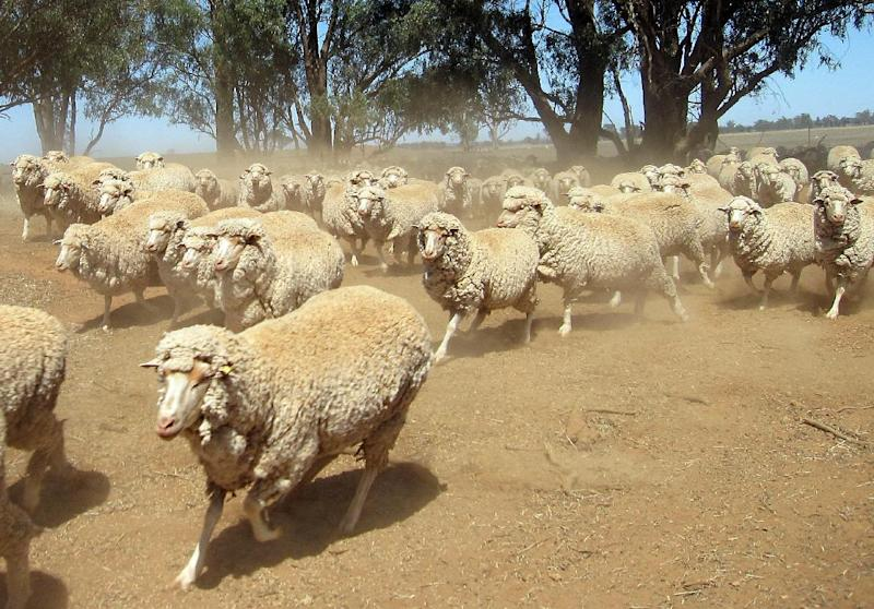 A herd of sheep, pictured in rural New South Wales, on January 10, 2010 (AFP Photo/Amy Coopes)