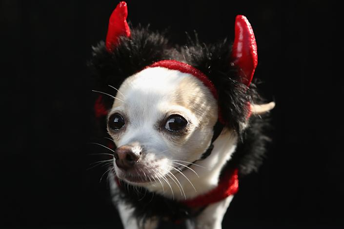 Pants, a Chihuahua, poses as a devil at the Tompkins Square Halloween Dog Parade. (Photo by John Moore/Getty Images)
