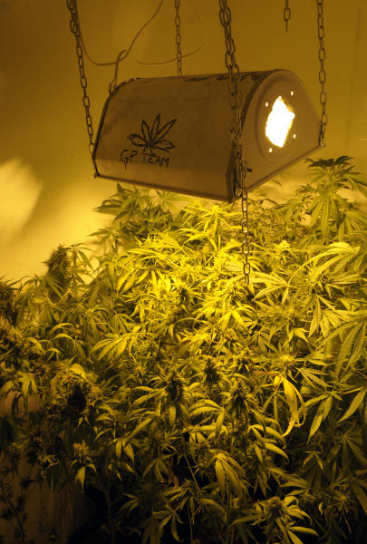 Marihuana plants are seen being grown inside a closet made for that purpose at a private house in Montevideo, Uruguay,Wednesday, Nov. 14, 2012. Uruguayans used to call their country the Switzerland of Latin America, but its faded grey capital seems a bit more like Amsterdam now that its congress has legalized abortion and is drawing up plans to sell government-grown marijuana. (AP Photo/Matilde Campodonico)