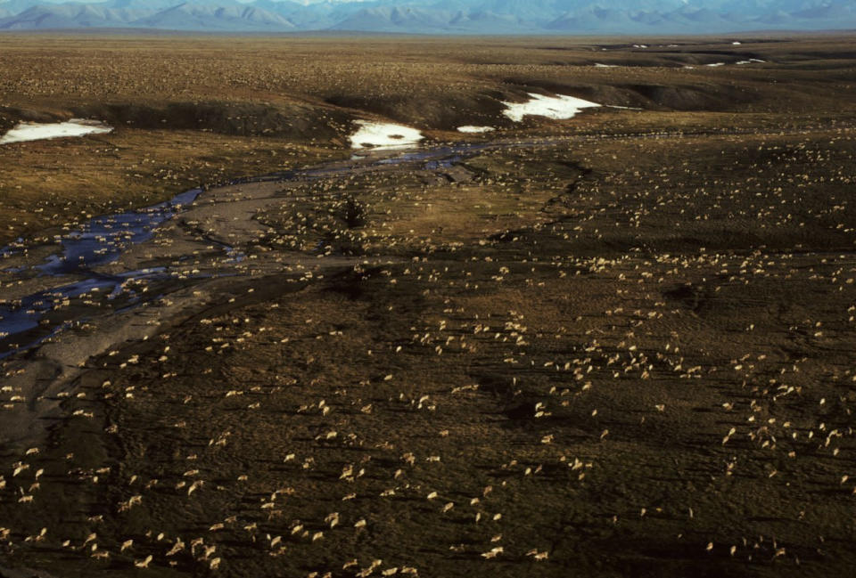 This undated aerial photo provided by U.S. Fish and Wildlife Service shows a herd of caribou on the Arctic National Wildlife Refuge in northeast Alaska. The Biden administration is suspending oil and gas leases in Alaska's Arctic National Wildlife Refuge as it reviews the environmental impacts of drilling in the remote region.(U.S. Fish and Wildlife Service via AP)