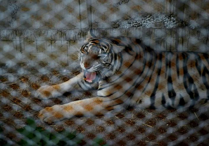 """A tiger pictured inside a cage at the Wat Pha Luang Ta Bua """"Temple of Tigers"""" in Kanchanaburi province, western Thailand, on May 30, 2016 (AFP Photo/Christophe Archambault)"""