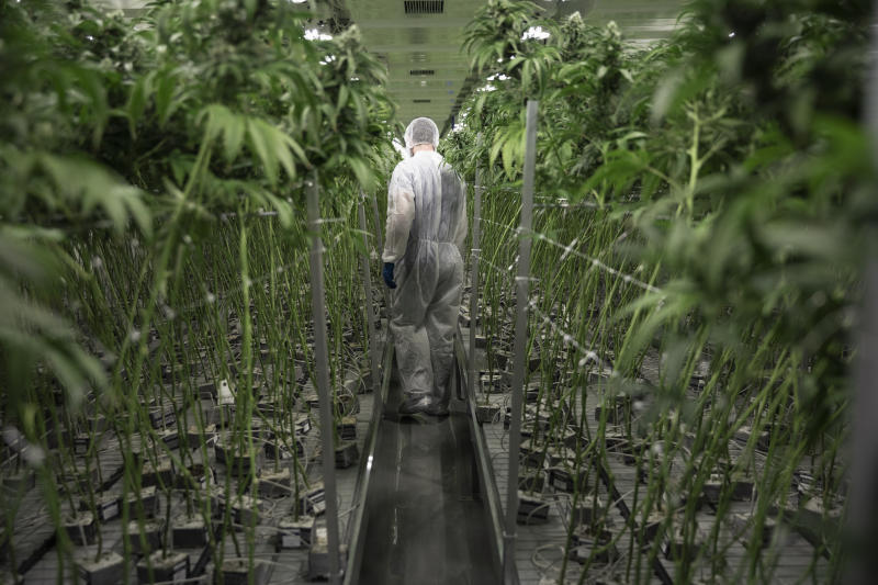 Grower in clean suit walking among cannabis plants