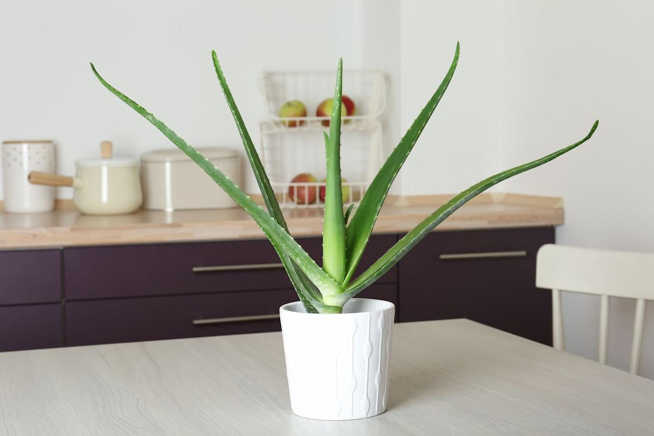 "<p>Aloe vera likes bright light, so you'll need a window for this one. Let it dry out between waterings, because it does not like to be soggy. Burn yourself? Pinch off an outer leaf and squeeze the gel-like substance onto minor burns. Compounds in the leaves have anti-inflammatory properties that speed healing of skin tissues. (Learn to grow more <a href=""https://www.countryliving.com/gardening/garden-ideas/g29804807/best-healing-plants/"" target=""_blank"">healing plants</a> here!)</p><p><a class=""body-btn-link"" href=""https://www.amazon.com/Costa-Farms-Aloe-Vera-14-Inches/dp/B079DFZYBS/ref=sr_1_1_sspa?tag=syn-yahoo-20&ascsubtag=%5Bartid%7C10050.g.30779083%5Bsrc%7Cyahoo-us"" target=""_blank"">SHOP ALOE VERA</a></p>"
