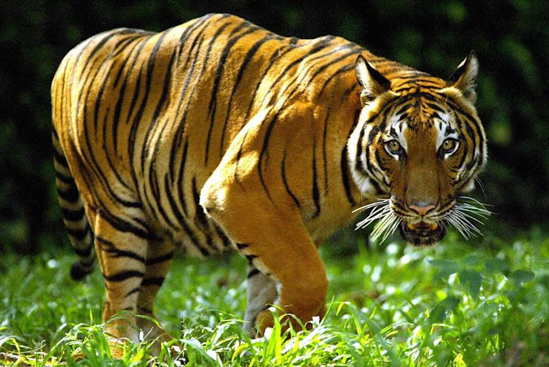 The tigress was electrocuted after killing four people (file photo): AFP/Getty Images