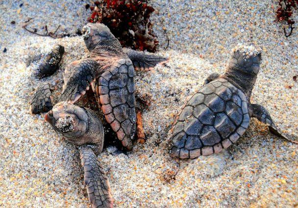 PHOTO: A morning hatchout of Loggerhead sea turtles is pictured in Highland Beach, Florida, in July 2012. (Staci-Lee Sherwood)