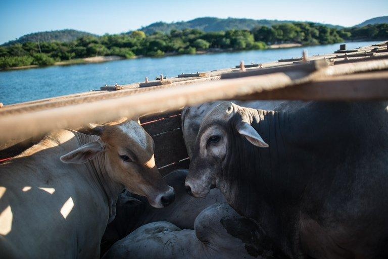 Cattle are shipped by ferry across the Xingu river in Sao Felix do Xingu in Para state, northern Brazil, on August 6, 2013. In a remote corner of the Brazilian Amazon, farmer Lacir Soares is promoting sustainable cattle rearing that shuns deforestation and meets the environmental requirements of a new forestry law