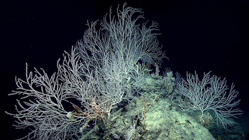 NOAA scientists discover deep sea bamboo coral community