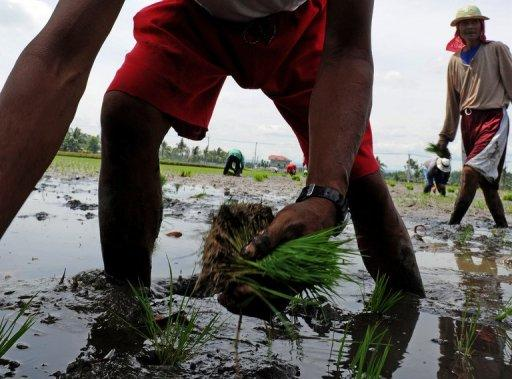 File photo of farmers planting rice in Cavite, south of the Philippine capital Manila. The Philippines, one of the world's biggest importers of rice, could go a long way to achieving its elusive goal of self-sufficiency simply by wasting less, a global research institute said