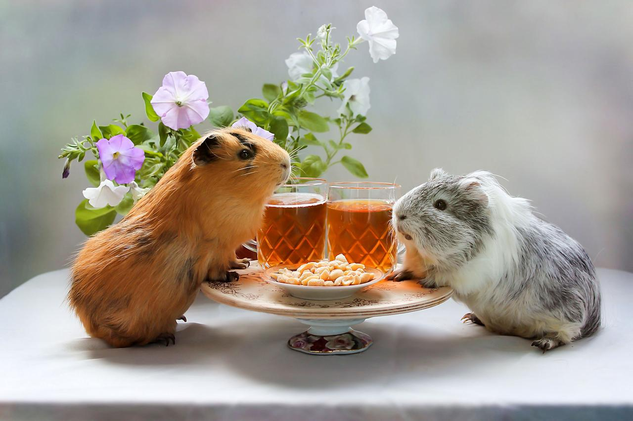 """<p>Taking care of a <a href=""""https://www.womansday.com/life/pet-care/g27911814/guinea-pig-breeds/"""" target=""""_blank"""">guinea pig</a> isn't as easy as one might think. Not only do you need to buy them a cage that's big enough for them to move, but you also have to take them to the vet for routine checkups <em>and </em>provide them with the proper nutrition.</p><p>One thing to note is that <a href=""""https://www.womansday.com/life/pet-care/g27653970/guinea-pig-toys/"""" target=""""_blank"""">guinea pigs</a> can be very particular about their diet. According to VCA Hospitals, most <a href=""""https://vcahospitals.com/know-your-pet/guinea-pigs-feeding"""" target=""""_blank"""">guinea pigs develop food preferences</a> early in life and any sudden change could result in a refusal to eat — even changing their food plates could confuse them. If you've recently adopted a guinea pig, be sure to ask what their current diet is, and make slow, gradual changes to avoid any issues.<br> <br>According to Petco, because <a href=""""https://www.petco.com/content/petco/PetcoStore/en_US/pet-services/resource-center/food-nutrition/guinea-pig-care-diet-and-feeding-tips.html"""" target=""""_blank"""">guinea pigs are herbivores</a>, their diet should consist of hay, pellets, fresh vegetables, and fresh fruit. That being said, it is important to make sure that whatever food you are giving them is high in vitamin C because guinea pigs are naturally deficient of it. If a guinea pig doesn't get enough vitamin C in their diet, they could be prone to developing infections.<br> <br>If you recently brought a <a href=""""https://www.womansday.com/life/pet-care/a1754/3-non-traditional-family-pets-108644/"""" target=""""_blank"""">little guinea pig</a> home, or are thinking about adopting one, here's everything you need to know about what guinea pigs eat.</p>"""