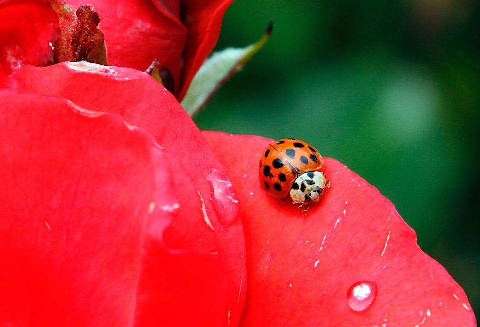 """A Coccinellidae, more commonly known as a ladybug or ladybird beetle, rests on the petals of a rose in Portland, Ore., Wednesday, May 26, 2010. The name """"ladybird"""" originated in the Middle Ages when the insects were known as the """"beetle of Our Lady"""". (AP Photo/Don Ryan)"""