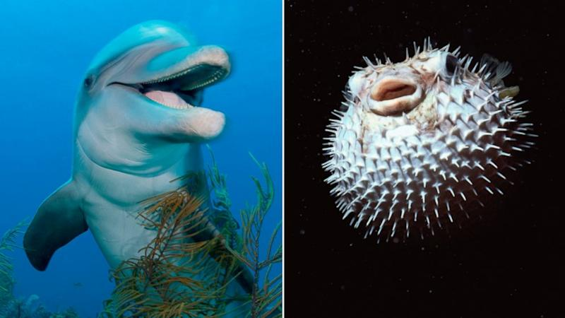 Dolphins Can Get High on Puffer Fish, Says Nature Show
