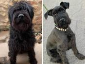 """<p>Stein, who now lives with an adoring family, made a pit stop at <a href=""""http://www.tucsonscauseforcanines.org/"""" rel=""""nofollow noopener"""" target=""""_blank"""" data-ylk=""""slk:Tucson's Cause for Canines"""" class=""""link rapid-noclick-resp"""">Tucson's Cause for Canines</a> in Arizona between owners. The dog's originally owners neglected Stein, often leaving him outside for long periods. When they surrendered him to the shelter, Stein needed a little help. The rescue was happy to provide the love and grooming Stein needed to find his way into his new forever home. </p>"""