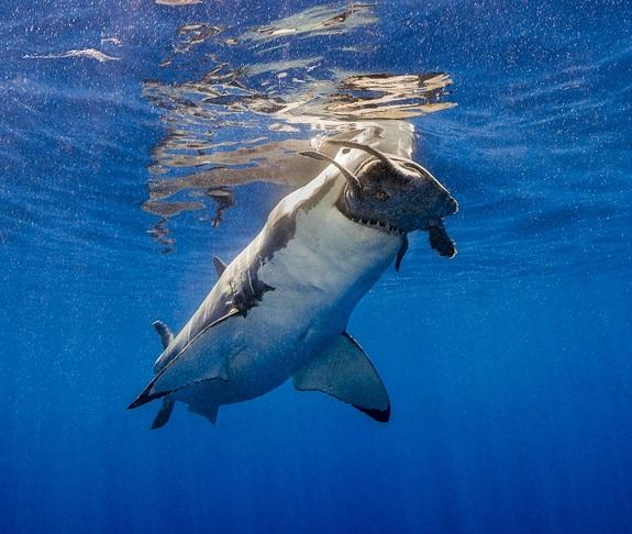"""Crunch,"" recognized as ""Highly Commended"" in the UPY category ""Behavior."" The photographer, Theresa A. Guise said: ""From a surface cage on the Solmar V, I was observing five great whites feeding on tuna served up in the water when, out of the"