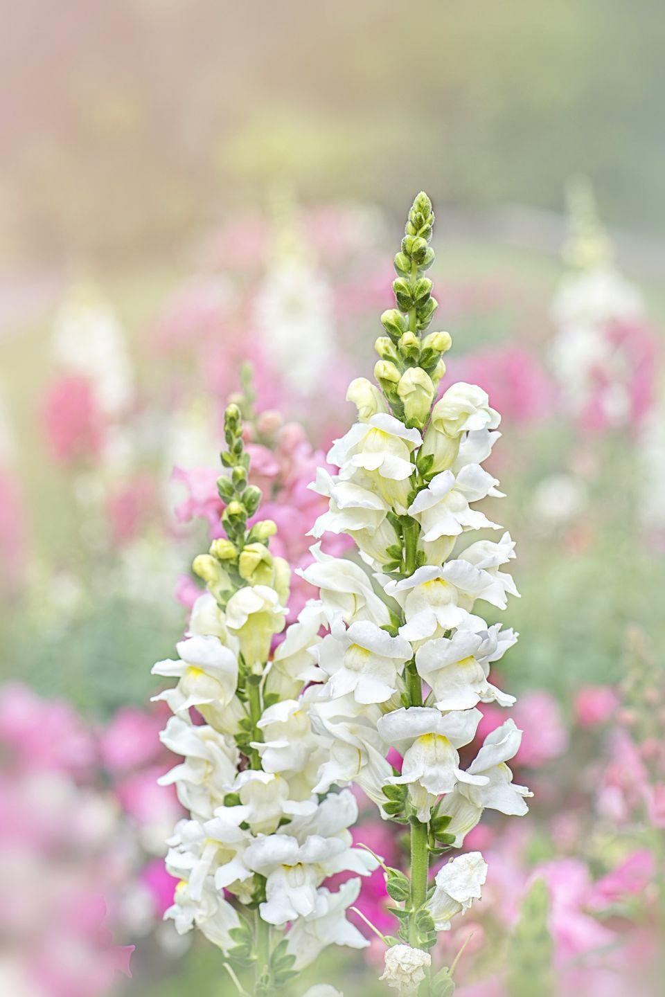 <p>Maybe it comes as no surprise, given the name, but the symbolism behind snapdragons isn't exactly friendly. They stand for deception, so you may not want to give these to your main squeeze for Valentine's Day. </p>