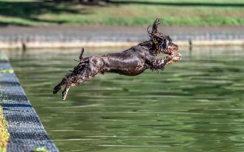 A chocolate Cocker Spaniel cools off in the boating bake in Abington Park, Northampton - Keith J Smith/Alamy Live News