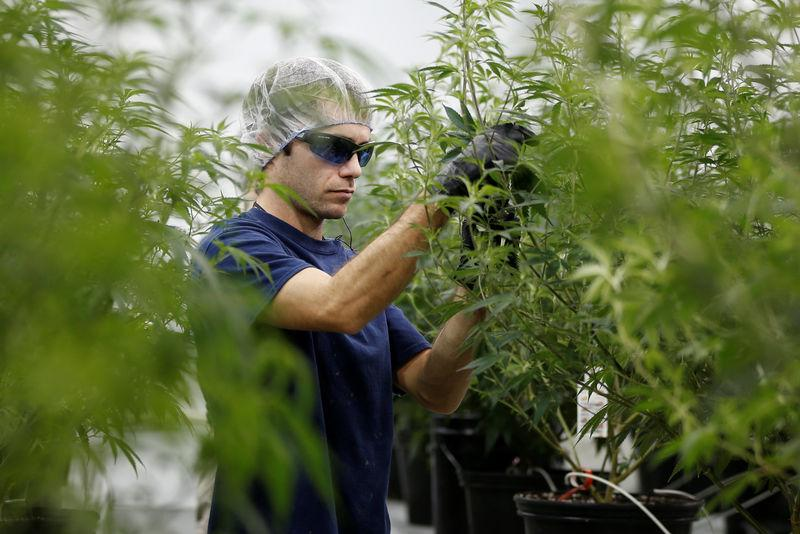 A worker collects cuttings from a marijuana plant at the Canopy Growth Corporation facility in Smiths Falls