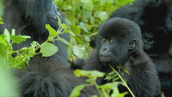 Gorillas face many threats but there is hope for their recovery
