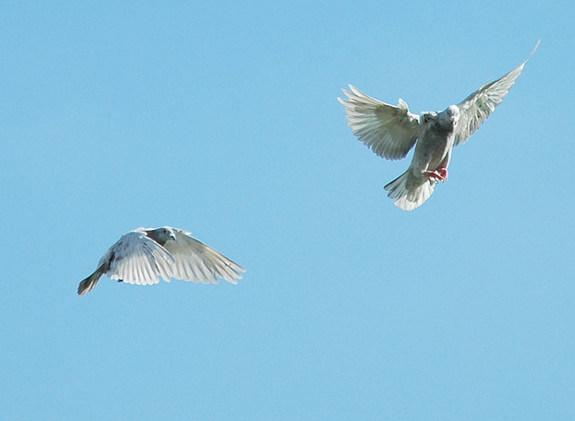 Mystery of Lost Homing Pigeons Finally Solved