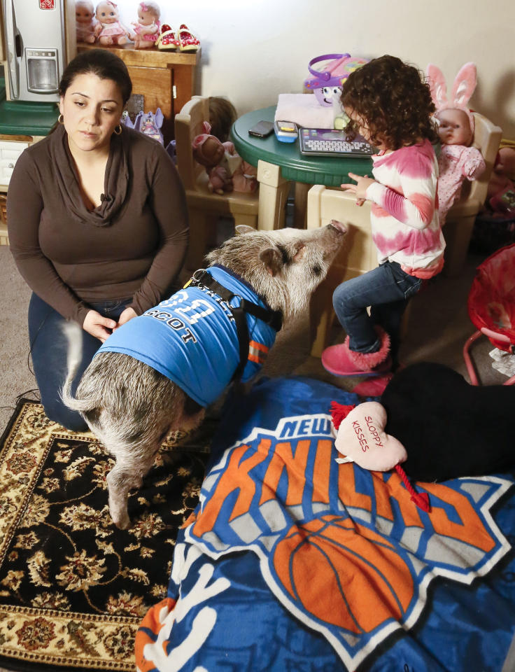 "Danielle Forgione and her daughter Olivia, 3, with Petey, the family's pet pig next to his bed wrapped in a ""Knick"" blanket, on Thursday, March 21, 2013, in the Queens borough of New York. Forgione is scrambling to sell her second-floor apartment after a neighbor complained about 1-year-old Petey the pig to the co-op board. In November and December she was issued city animal violations and in January was told by both the city and her management office that she needed to get rid of the pig. (AP Photo/Bebeto Matthews)"