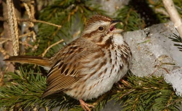 A song sparrow perched on a snowy branch. Memramcook birder Alain Clavette heard one singing outside his home on Sunday. (Submitted by Alain Clavette - image credit)