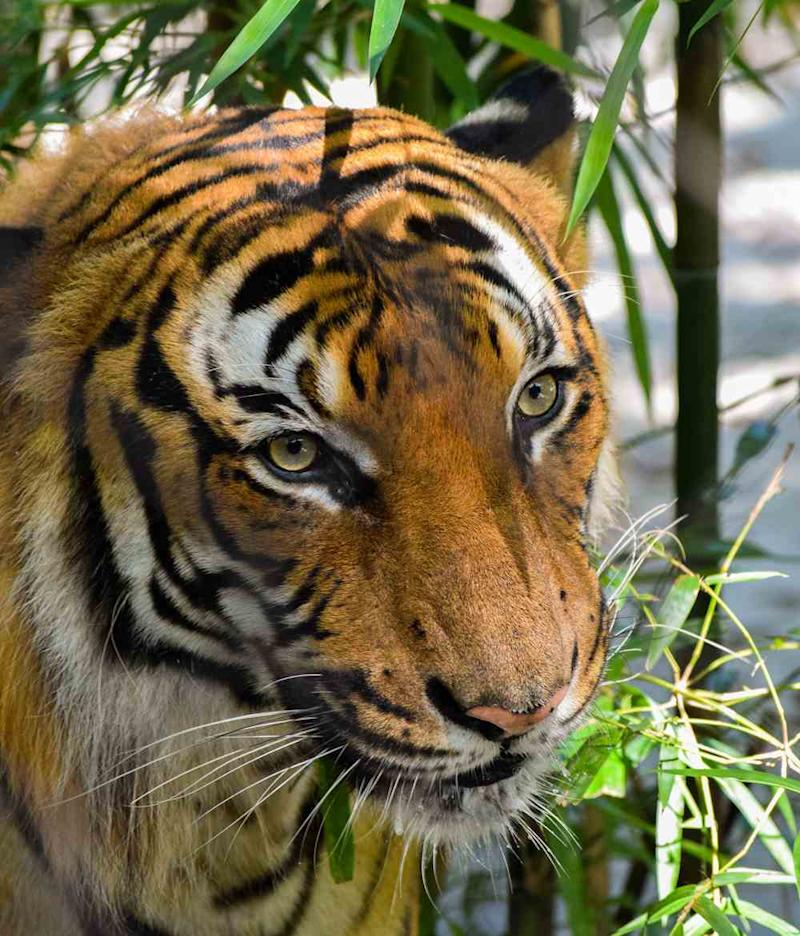 India's tiger numbers have risen to 2,967