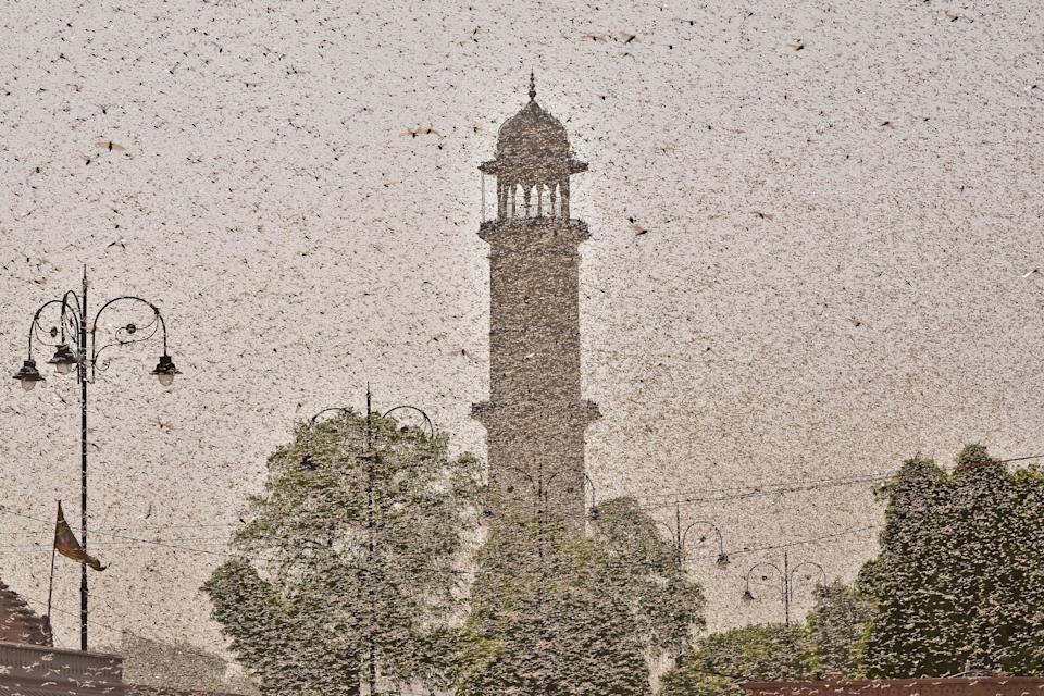 Swarms of locust attack in the walled city of Jaipur, Rajasthan, Monday, May 25, 2020. More than half of Rajasthans 33 districts are affected by invasion by these crop-munching insects.(Photo by Vishal Bhatnagar/NurPhoto via Getty Images)