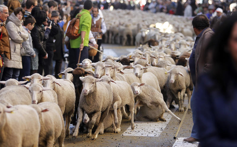 2,000 sheep led through streets of Spain's capital
