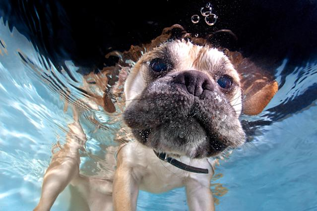 <p>A pug pops his head underwater. (Photo: Jonny Simpson-Lee/Caters News) </p>