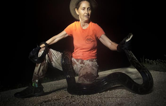 Donna Kalil captures a wild Burmese python in the Everglades west of Miami. She hunts several days a week and has notched hundreds of the invasive species.