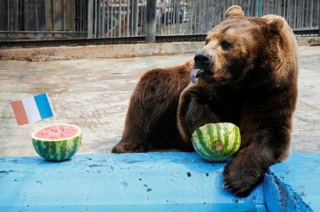 Buyan, a male Siberian brown bear, chooses Croatia while attempting to predict the result of the soccer World Cup final match between France and Croatia during an event at the Royev Ruchey Zoo in Krasnoyarsk, Russia July 14, 2018. REUTERS/Ilya Naymushin