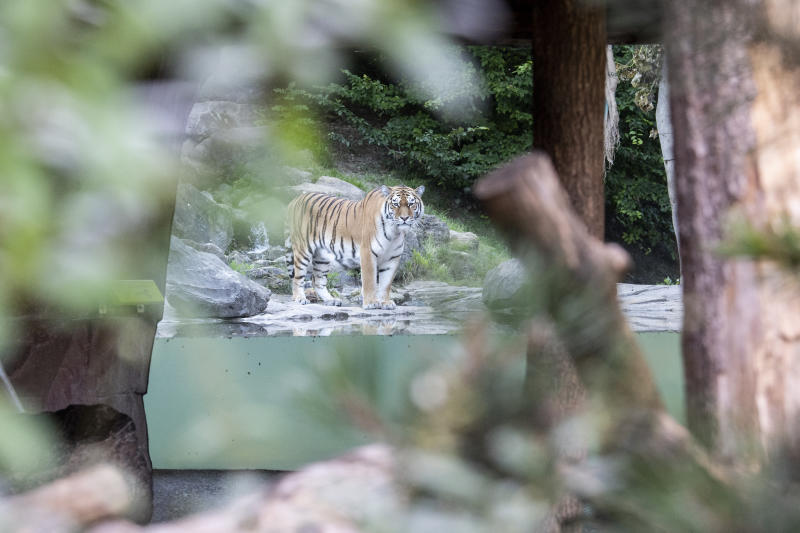 Pictured is a Siberian tiger named Sayan in a big cat enclosure in Zoo Zurich.