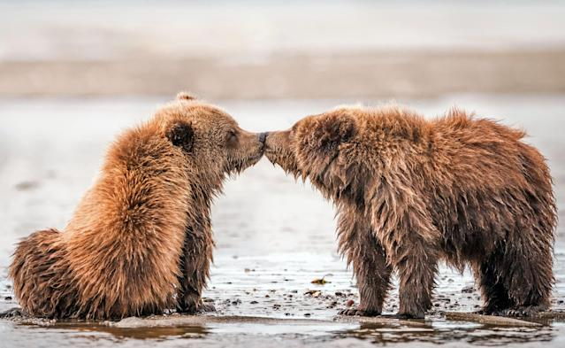 <p>Two brown bear cubs interact and appear to kiss at the Lake Clark National Park, Alaska. (Photo: Nathaniel Smalley/Caters News) </p>
