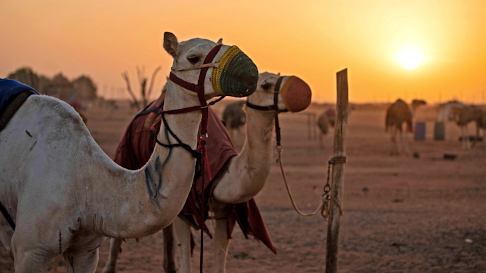 Camels tied to a pole during a race at a track near Omdurman, Sudan - Friday 19 March 2021