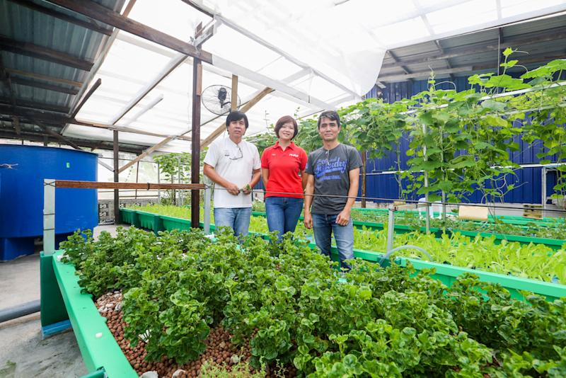 How does tilapia help produce organic vege? This Ampang