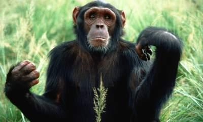 Cheeky Chimps Not So Chirpy In Middle Age