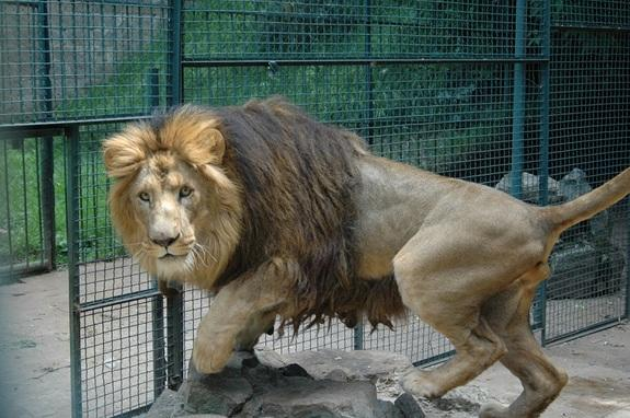 Big Manes Make 'Rasta' Lions Special