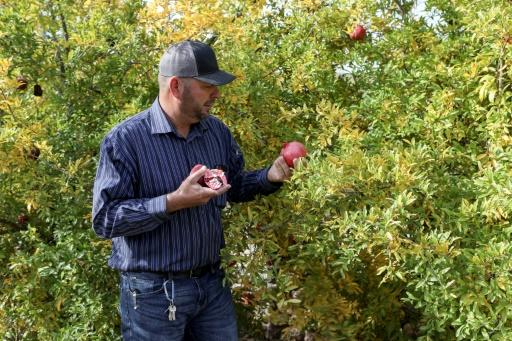 The Mormons in Sonora grow pomegranates