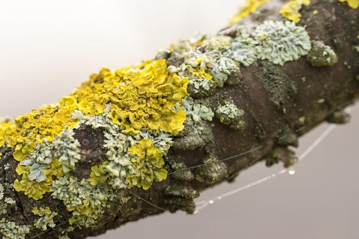"""<span class=""""caption"""">Lichen are natural air pollution monitors that children can measure to keep track of their local environment.</span> <span class=""""attribution""""><a class=""""link rapid-noclick-resp"""" href=""""https://www.shutterstock.com/image-photo/lichen-on-tree-180800033?src=D7HxxKH8srJG14cJbgbv0Q-1-12"""" rel=""""nofollow noopener"""" target=""""_blank"""" data-ylk=""""slk:Dark Moon Pictures/Shutterstock"""">Dark Moon Pictures/Shutterstock</a></span>"""