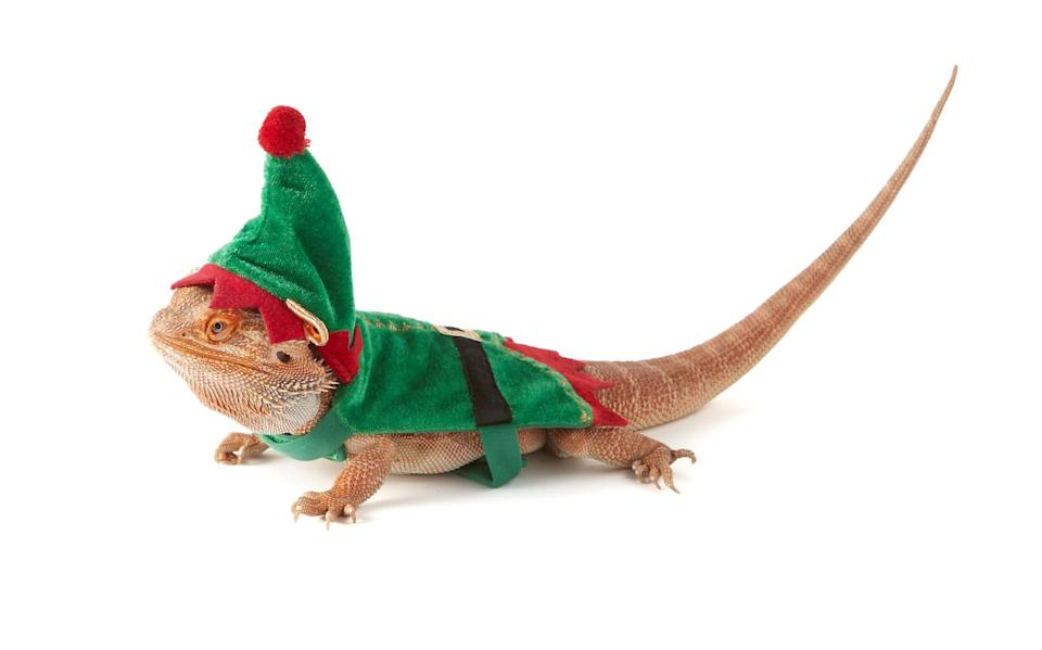 """It's an age-old story: The family is enjoying the holidays all decked in holiday gear while the beloved bearded dragon gets left out in the cold. That travesty ends now, thanks to this <a href=""""https://www.petsmart.com/reptile/habitats-and-decor/habitat-accessories/merry-and-brightandtrade-elf-bearded-dragon-costume-61222.html"""" target=""""_blank"""" rel=""""noopener noreferrer"""">elf costume</a> perfectly designed for the celebration-loving reptile in your life."""