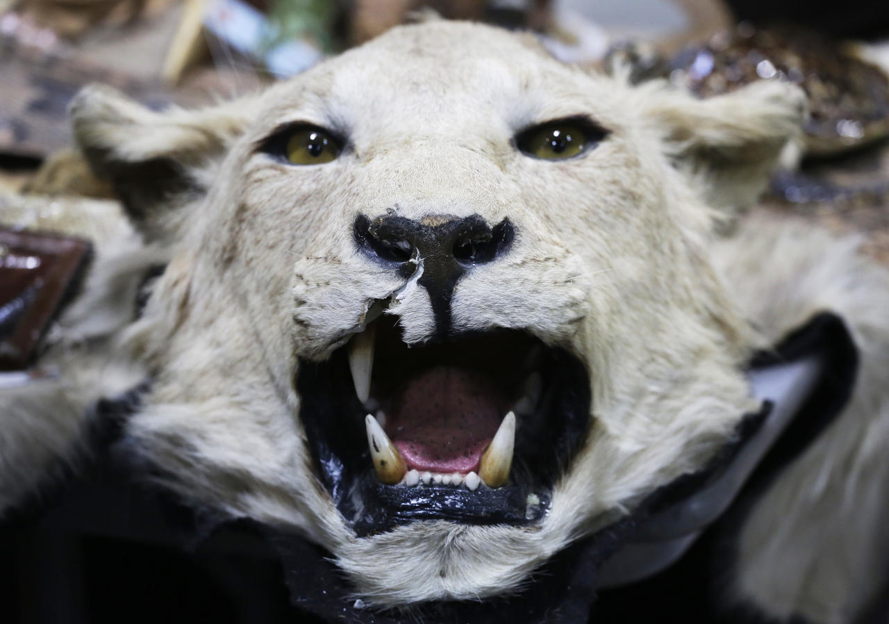 A stuffed lion's head is displayed at a news conference at JFK international Airport, Monday, June 16, 2014 in New York to highlight efforts by U.S. Customs and Border Protection and U.S. Fish and Wildlife to deter illegal trafficking in wildlife. The items displayed were seized from baggage and cargo arriving at the airport. The government is cracking down on the illegal trafficking, saying some of its import-export activity may be linked to terrorists. (AP Photo/Mark Lennihan)