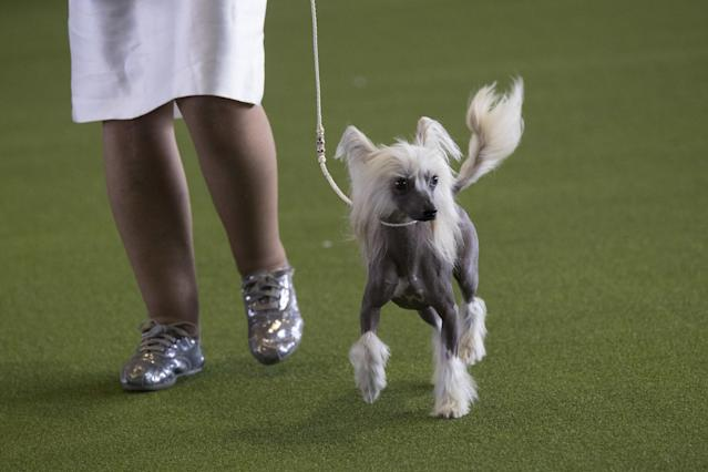 <p>A Chinese crested is shown in the ring during the 141st Westminster Kennel Club Dog Show, Monday, Feb. 13, 2017, in New York. (AP Photo/Mary Altaffer) </p>