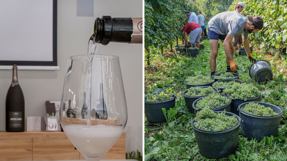 Left: Prosecco is poured into the glass inside a cellar on July 12, 2019 in Conegliano, northeast Italy; Right: Workers harvest grapes for Prosecco in a vineyard on September 19, 2018 in Treviso, Italy. (Photos by Stefano Mazzola/Awakening/Getty Images)