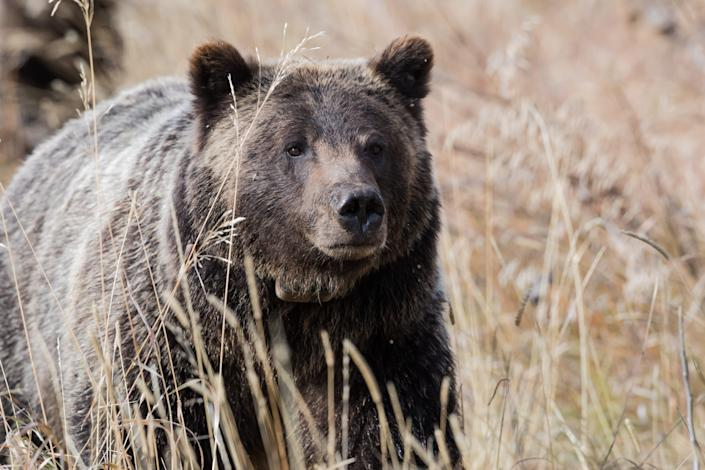 A grizzly bear wanders through a meadow in Grand Teton National Park.