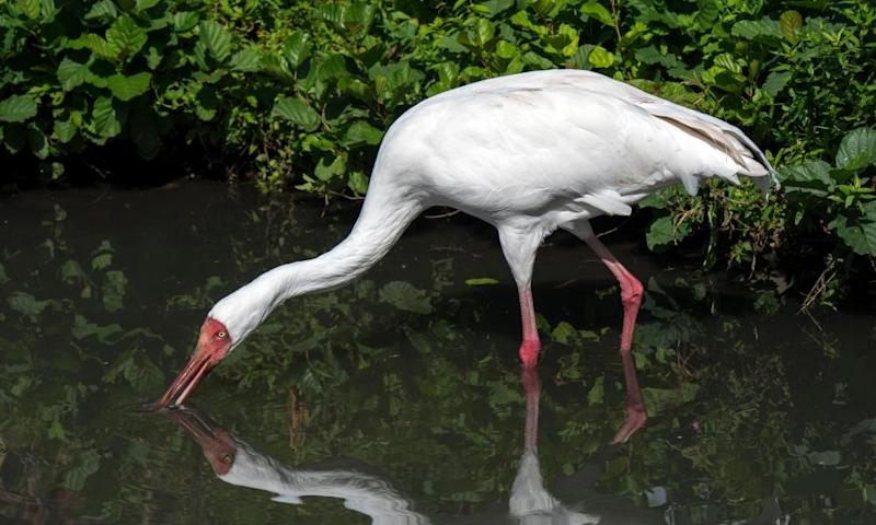 The Siberian crane is among species that inhabit or visit Iran's Fereydunkenar wetlands, where as many as one half – a million birds - are now hunted every year.