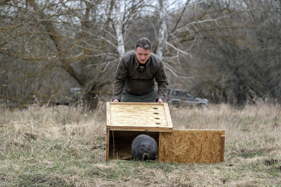 Denis Vishnevskiy, chief of the unit of the Chernobyl Radiation and Ecological Biosphere Reserve, releases a beaver in a forest at the Chernobyl exclusion zone, Ukraine, Tuesday, April 13, 2021. To the surprise of many who expected the area might be a dead zone for centuries, wildlife is thriving: bears, bison, wolves, lynx, wild horses and dozens of bird species. According to scientists, the animals were much more resistant to radiation than expected, and were able to quickly adapt to strong radiation. (AP Photo/Evgeniy Maloletka)