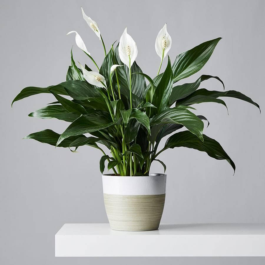 """<strong><h2>Peace Lily</h2></strong><br>Pol Bishop, a London gardener and plants expert with <a href=""""https://www.fantasticgardeners.co.uk/"""" rel=""""nofollow noopener"""" target=""""_blank"""" data-ylk=""""slk:Fantastic Gardeners"""" class=""""link rapid-noclick-resp"""">Fantastic Gardeners</a>, suggests this air-purifying plant because it's low-maintenance and can adapt to a range of conditions. """"It's a perfect choice for growing indoors and in offices because it can thrive under fluorescent lights, too,"""" he says. """"In fact, the Peace Lily can add that much-needed greenery to your bathroom as well. Make sure you keep it away from direct sunlight and water it just once a week""""<br><br><em>Shop</em> <a href=""""http://plants.com"""" rel=""""nofollow noopener"""" target=""""_blank"""" data-ylk=""""slk:Plants.com"""" class=""""link rapid-noclick-resp""""><strong><em>Plants.com</em></strong></a><br><br><strong>Plants.com</strong> Peace Lily Plant, $, available at <a href=""""https://go.skimresources.com/?id=30283X879131&url=https%3A%2F%2Fwww.plants.com%2Fp%2Fpeace-lily-plant-157654-2"""" rel=""""nofollow noopener"""" target=""""_blank"""" data-ylk=""""slk:Plants.com"""" class=""""link rapid-noclick-resp"""">Plants.com</a>"""