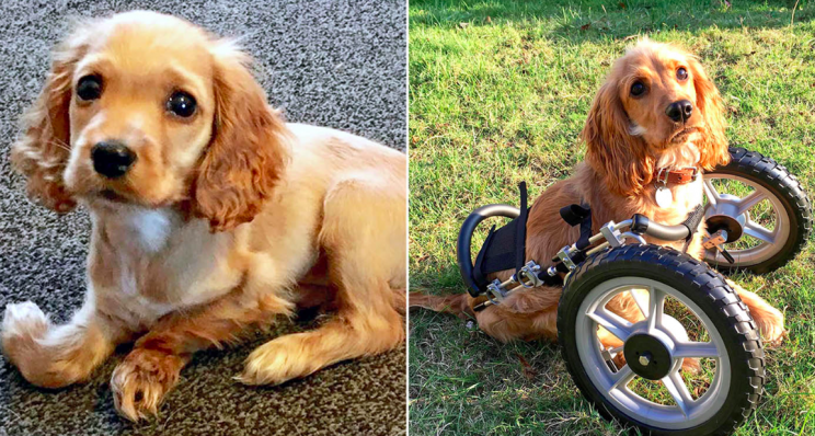 Deformed puppy wheelchair